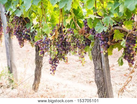 Bunches of cabernet sauvignon grapes growing in a vineyard in Bordeaux region France.