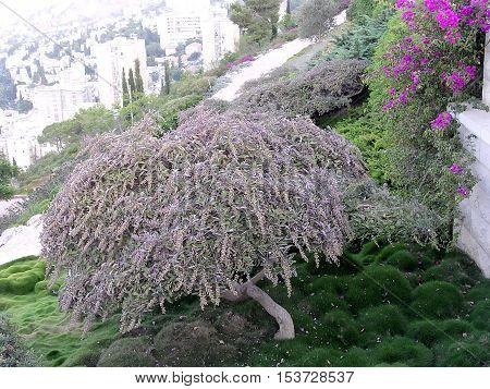Green corne in Bahai Gardens in Haifa August 11 2003