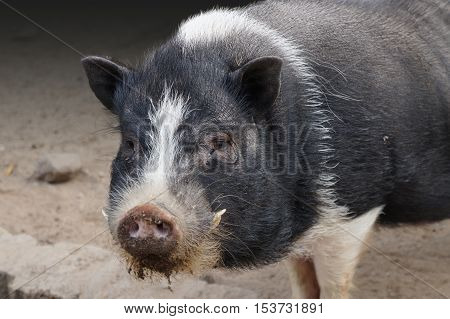 Face of a pot bellied pig on the farm