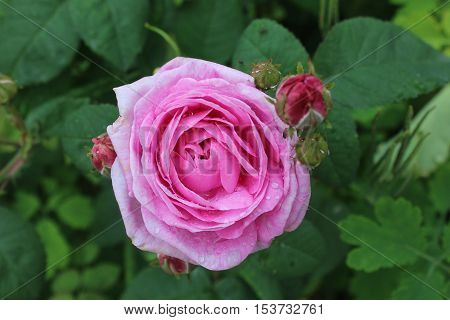 Pink rose flower in the garden. Rose bud opened flower. Rose with side buds.