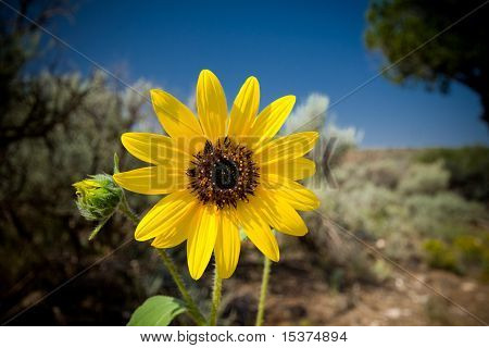 Sunflower Helianth