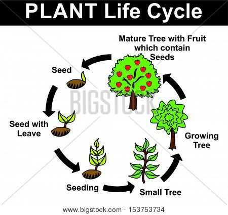 Vector - Plant Life Cycle (all stages: seed, seed with leave, seeding, small tree, growing tree, mature tree with fruit contain seeds) - Educational Material