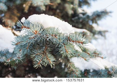 Natural winter background with frozen pinetree branch. Snow lies on needles. Winter sunny day.