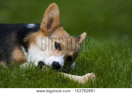 a small dog chewing on a large bone