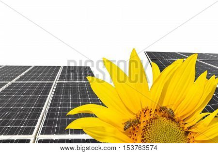 Blooming sunflower in the background solar panels.