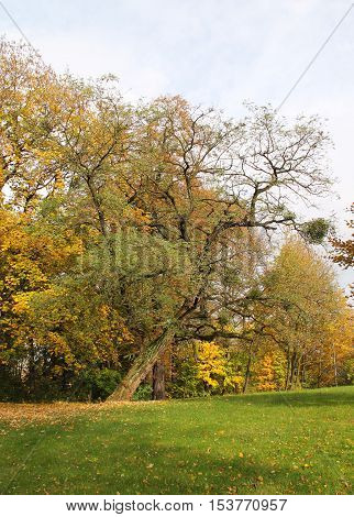 acacia tree with half bare crooked branches in the park in autumn