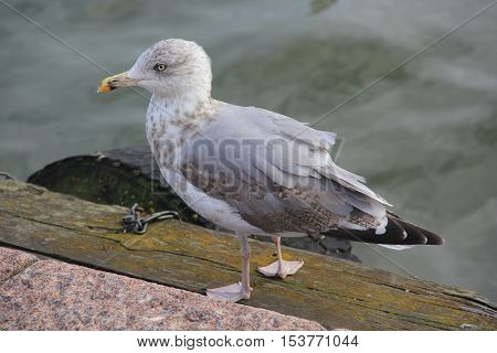 Lonely gray seagull with yellow beak walking on the promenade next to the water at the seaport of Helsinki, Finland