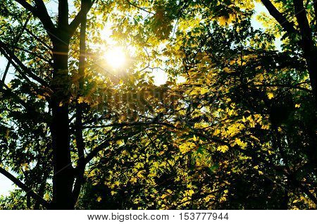 the sun's rays penetrate through the leaves and branches of the oak