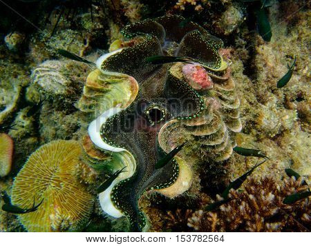 Mollusca or Giant clam from Gulf of Thailand
