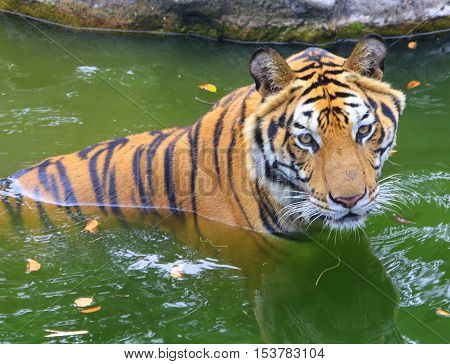 male Bengal Tiger having a cooling soak in a pool on a hot day