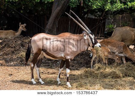 Gemsbok (Oryx gazella) is eating dry grass.