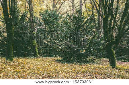 Changing colors of the forest. Vintage autumn season landscape in the Tiszalok Arboretum in Hungary. Hungarian countryside. Fallen yellow leaves. Evergreen fir tree.