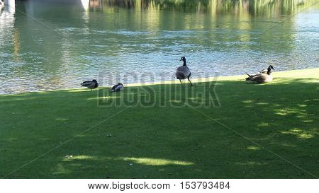 Sunny day ducks by water pond looking for food