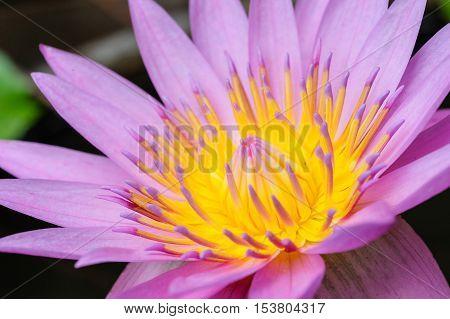 pink water lilly flower in dark background