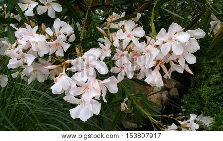 Oleander bush with beautiful white flowers close up