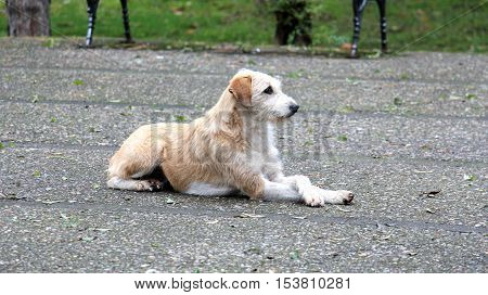 picture of a A stray dog with crosed legs laying on a pavement