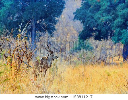 Solitary Male Kudu standing on the plains in Hwange National Park - Zimbabwe