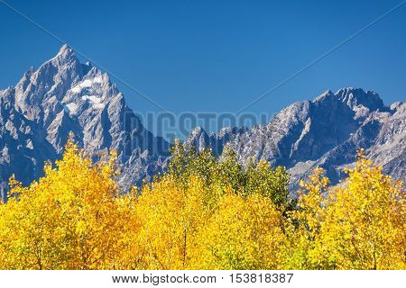 Aspen Trees And Grand Teton
