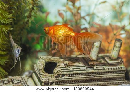Two Separate Ordinary Scalare Individual Fish and Carassius Auratus Widely Known as Golden Fish in Aquarium. Horizontal Image