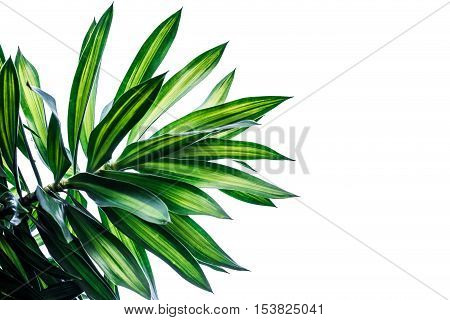 Dracaena isolated on white Background,The leaves are beautiful detail.