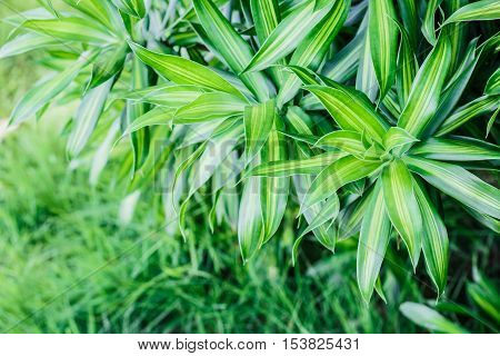 Dracaena Background,The green leaves are beautiful detail.