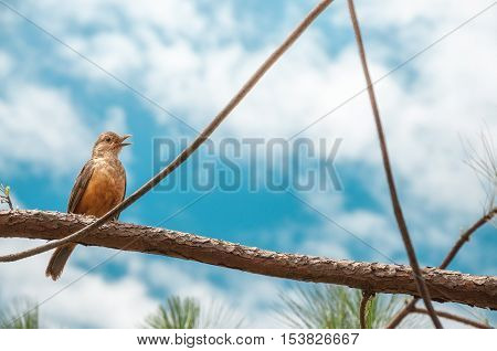 Singing Bird With Orange Belly And Open Beak On A Tree Branch. Sunny Day With Many Clouds On A Gorge