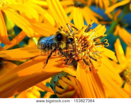 insect bee on bright yellow flower in summer
