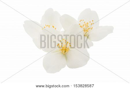 jasmine flower elegance summer on a white background