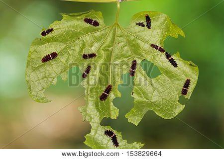 Common Rose Caterpillars