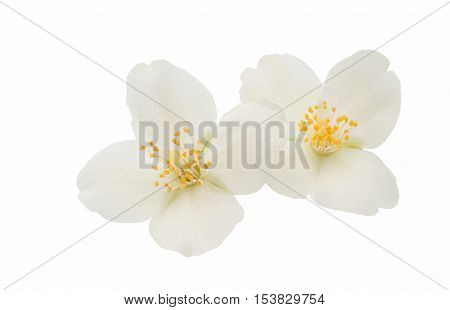 elegance summer jasmine flower on a white background