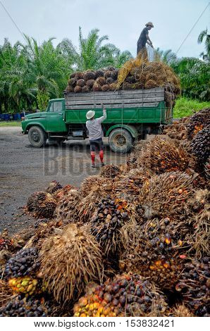 Plantation workers prepare to unload freshly harvested oil palm fruit bunches at a collection point.