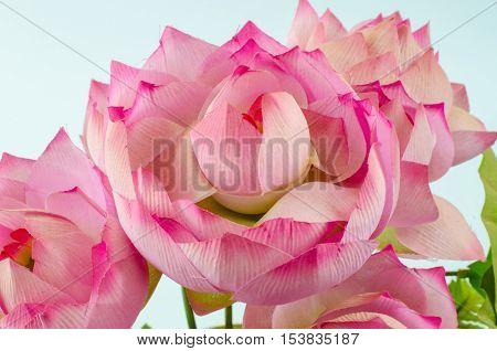 pastic lotus flower of decoration on white background