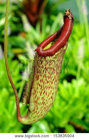 nepenthes plant-eating insects in tropical forests .