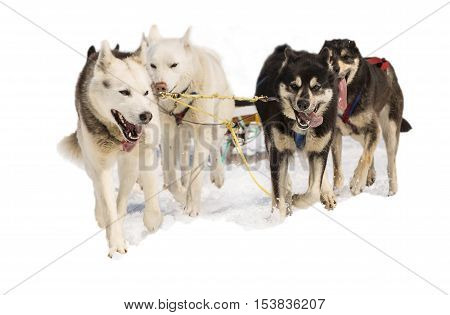 sled dogs Hasky in harness isolated on white