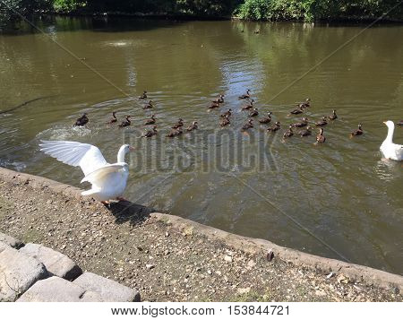 White Peking Duck In Audubon Park In New Orleans Makes Beautiful Shapes With Its Wings