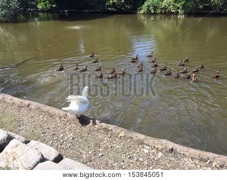 large white duck spreads wings to fly on the edge of a pond
