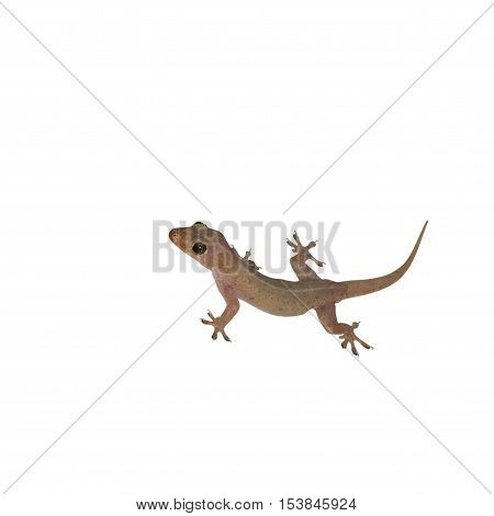 Gecko lizard on white background. (clipping path )