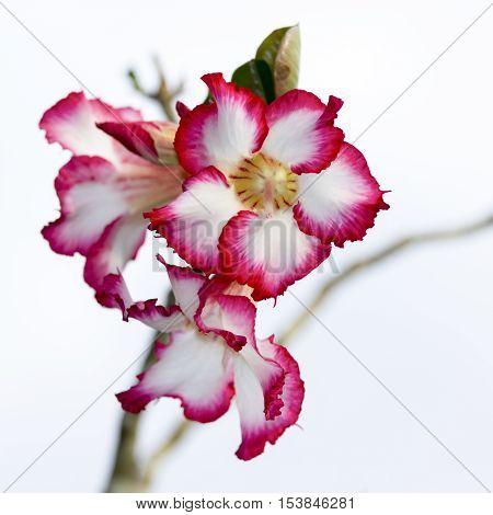 Floral Desert Rose Flower In Natural Background.