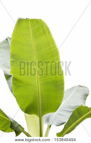 Group of green Banana leaf on white background.
