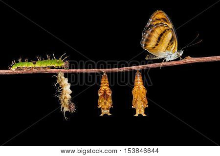 Life Cycle Of Colour Segeant Butterfly On Twig