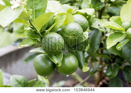 agriculture Fresh lemon fruit on tree in the morning.