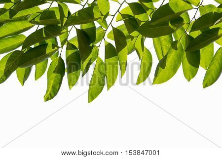 Group of green leaves on white sky background.