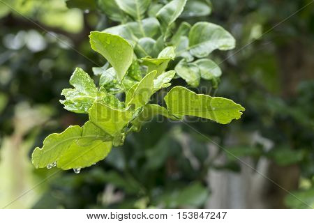 Bergamot leaves on Tree in the morning agriculture