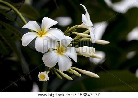 group of yellow white and pink flowers (Frangipani Plumeria) on a sunny day with natural background in THAILAND