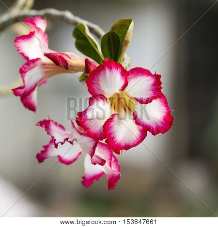 Close up Floral desert rose flower background.