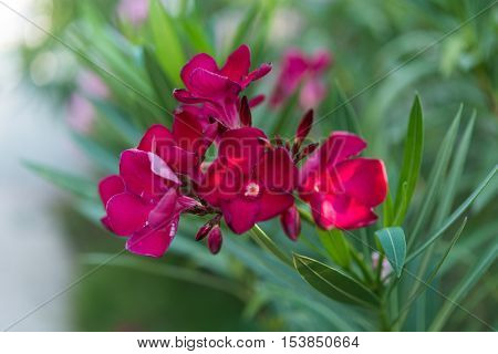 beautiful bouquet oleander flowers natural bouquet closeup