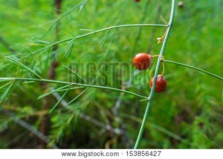 Orange colored fruits on an Asparagus Plants