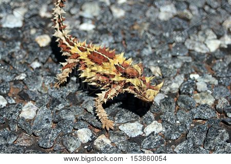 Australian moloch horridus lizard on grey road