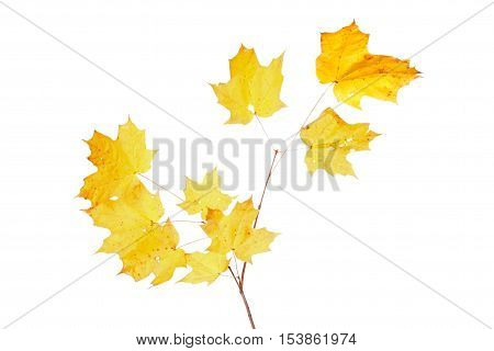 Yellow fall leaves of a sugar maple (Acer saccharum) isolated against a while background