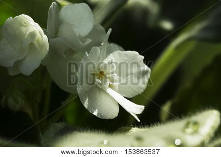small white flowers of Viola. small white flowers of home plants.